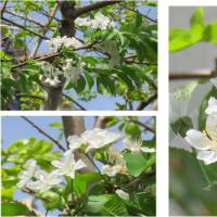 ≪さくらんぼ≫の花