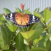 今度は蝶々の羽化です!