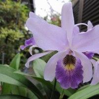 レリアンセ Lnt.(旧Lc) Wigleyi 'Orchid library' BM/JOGA