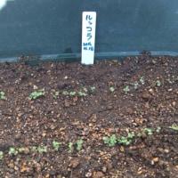 ルッコラ栽培日記:2日後に発芽しました!