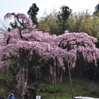 No.651 桜速報・地蔵桜~木の埼の大桜~永泉寺の桜
