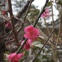 裏庭の梅が、まだ咲いてます