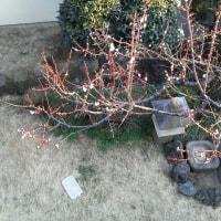 庭の豊後梅が開きました!
