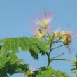 合歓の花の七月