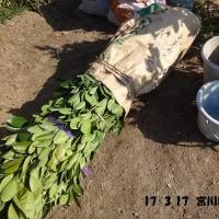 ミカンの苗木 植え