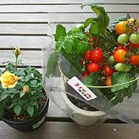 バラとトマト