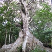 八重山ツアー:西表島