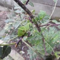 山椒の木の青虫君と肉食のカメムシの話