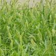 空地(草刈から5週間)エノコログサ(猫じゃらし)の天下