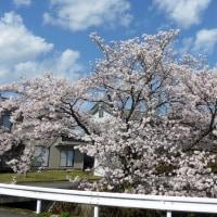 近辺の桜(2017年4月13日撮影)