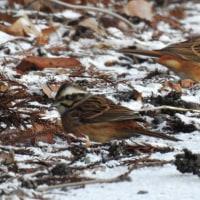 雪の中の小鳥 / いきもの録