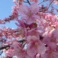 1072 「代々木公園の河津桜の爛漫」