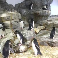 イワトビペンギンの見分け、つく?