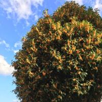 2016年10月24日〔月〕    金木犀の季節