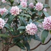 「おはようの花」 ジンチョウゲ(沈丁花)  2月