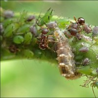 カラスノエンドウで見たヒラタアブの幼虫