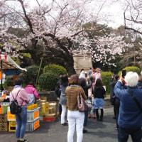 まだ染井吉野が咲かない。