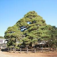 旧穂積小学校の松