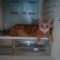 ネコが冷蔵庫にいるの図