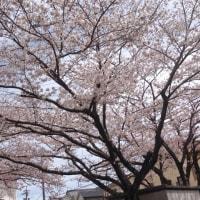 我が家の桜が満開になりました
