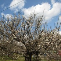 今日の散歩は梅と桜のお花見です。