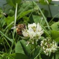 ミツバチとハナアブ