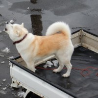 荷台の忠犬