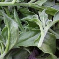 藤田農園の野菜たち アイスプラント(3月)