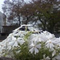 市神社の桜