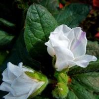 農工大のサザンカの花