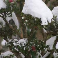毒が有っても野鳥のエサ「ピラカンサスの赤い実」。
