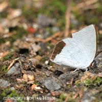 ウラギンシジミ(蝶)