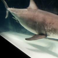 海のハンター展 ホオジロザメの剥製