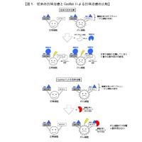 がん細胞だけを攻撃する抗体作製技術の開発~副作用のない抗体医薬品の開発が可能に~