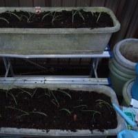 赤タマネギ苗植え