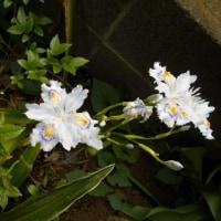 シャガ(胡蝶花)が 咲きました! 胡蝶蘭ではありません