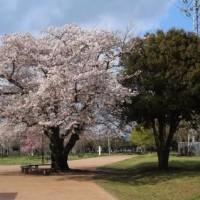 名残の桜を追いかけて