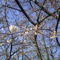 咲き始めた桜と新しい散歩コース