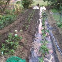 枝豆の植え替えです。