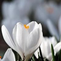俣野別邸庭園「白いクロッカス」
