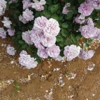 谷津バラ園 ピンクとパープルのバラ