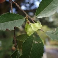 長野の木の実:アキニレの実