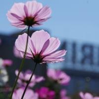 161024 キリンビール福岡工場、見ごろのコスモス、妻と堪能!!