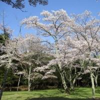亀山市 正法寺山荘跡の桜