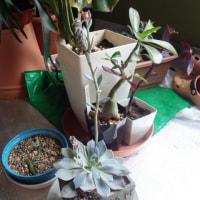 チラチラ咲き出した多肉系の花
