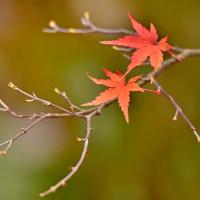 「残り紅葉!」 いわき 夏井川渓谷にて撮影! 楓