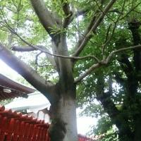 1円玉とおがたまの木