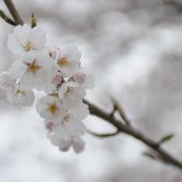 もうちょい 桜で頑張ります(宮城県松島町)