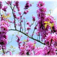 春爛漫の花(^^♪枝が赤紫色の花で埋った満開の「ハナズオウ(花蘇芳)」
