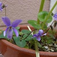 スミレの育て方3月 スミレの花を楽しむ  日本スミレの開花8番目 リュウキンカ鉢から